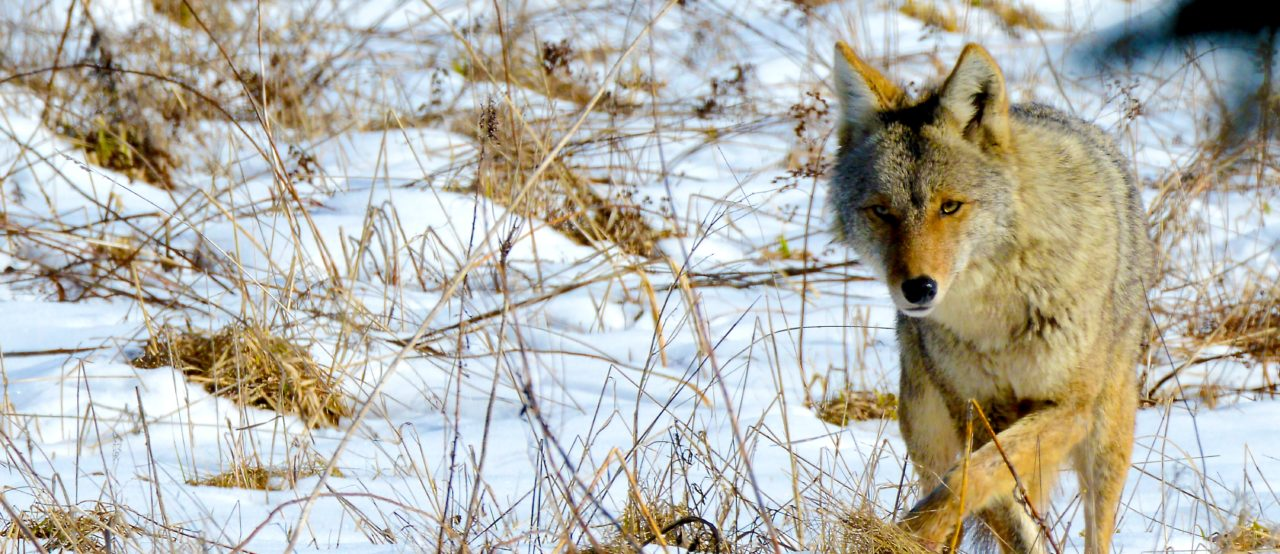 OFA asks members for feedback on wildlife compensation program