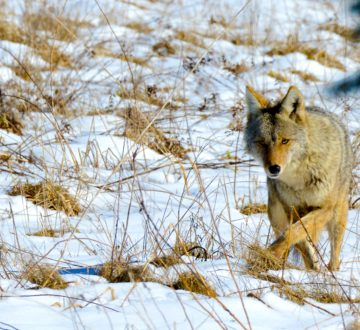 Ontario Coyote roaming the field