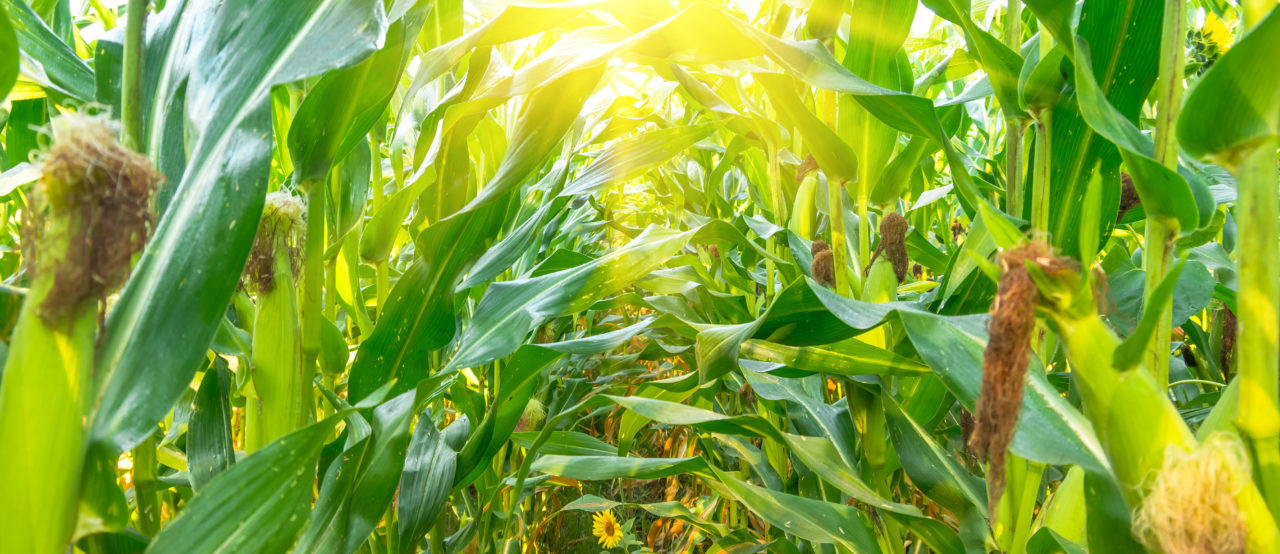Assessing options for high-DON corn